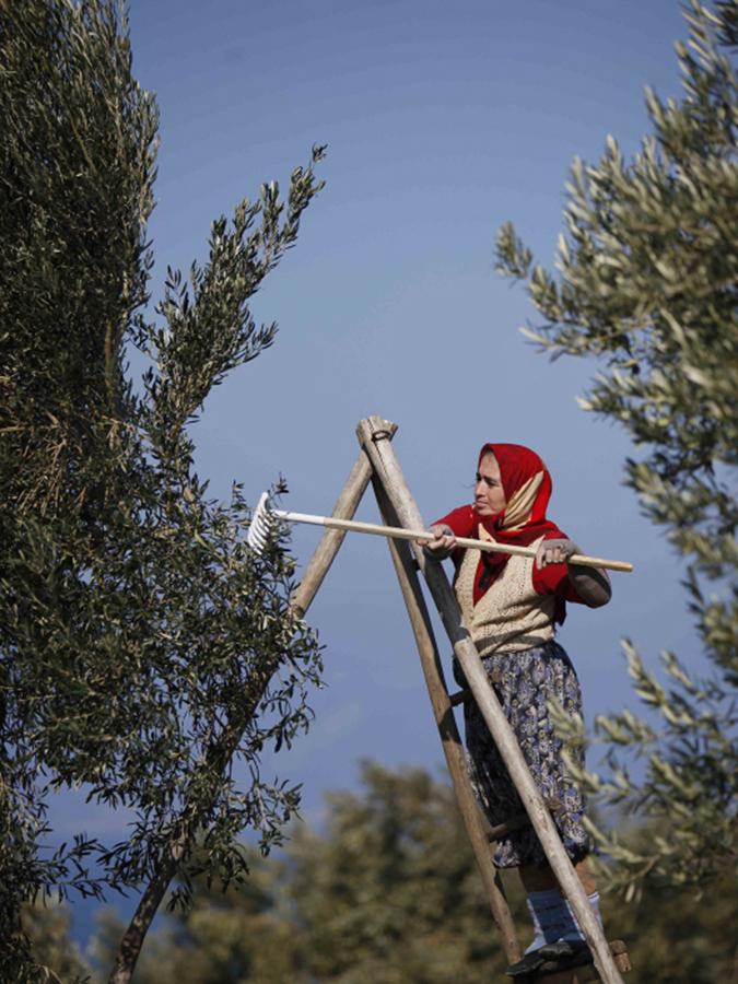 オリーブの実を収穫 写真:laleli社
